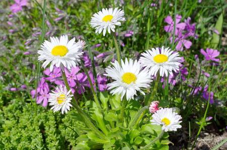 Perennial Daisy (lat. Bellis perennis) blooms in the garden Stock Photo