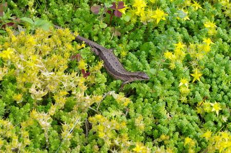 Viviparous lizard (lat. Zootoca vivipara) Stock Photo