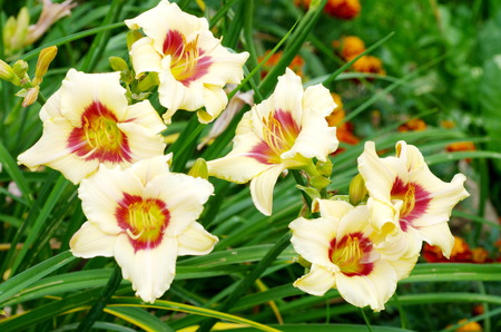 Blooming flowers daylily (lat. Hemerocallis) Banque d'images