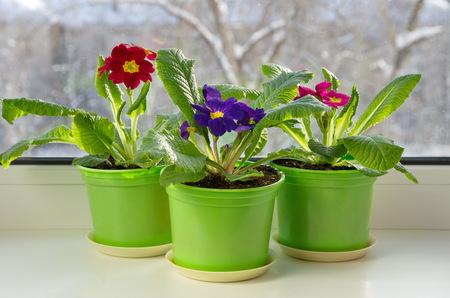 Töpfe mit bunter Primel (lat. Primula vulgaris) auf der Fensterbank