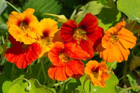 Flowering nasturtium (lat., Tropaeolum) closeup Stock fotó - 96287824