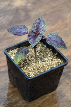 Young purple Basil in a plastic pot Banco de Imagens