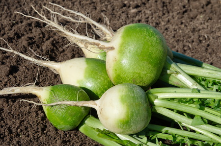Green (chinese) radish close-up in the vegetable garden Foto de archivo - 119908753