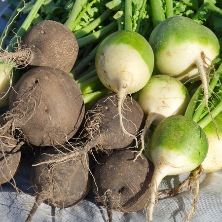 Collected black and green (chinese) radish close-up