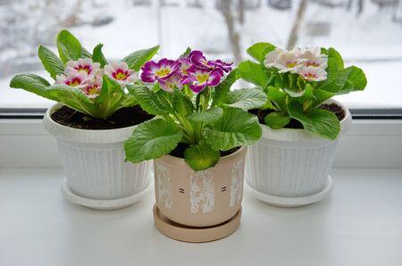 Multicolored primroses (lat. Primula vulgaris) in pots on the windowsill