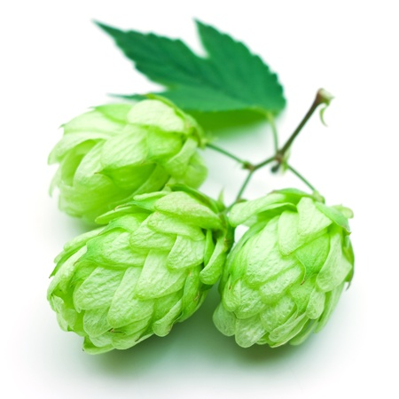 hop isolated on white  photo