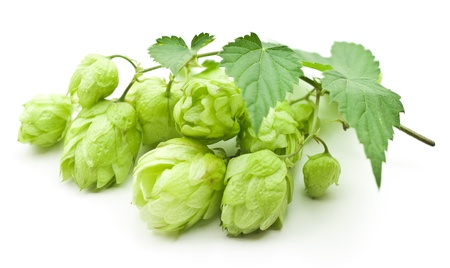 branch of hop isolated on white photo