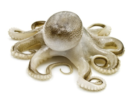 octopus: Kleine octopus op witte achtergrond  Stockfoto