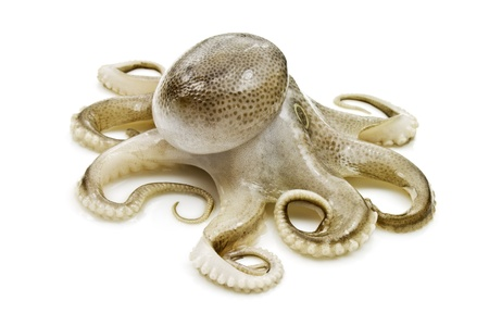 ahtapot: Small octopus on white background