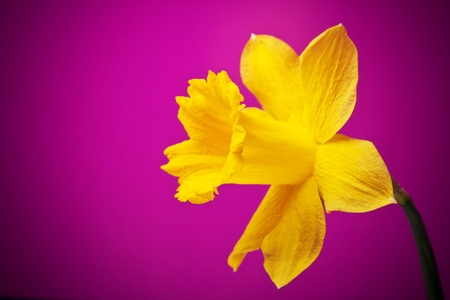 Yellow narcissus on a lilac background photo