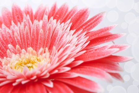 Pink daisy flower with dew  photo