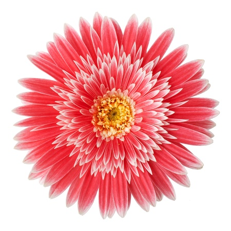 Gerber flower on a white background photo