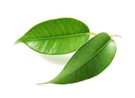 teepflanze: Gr�nes Blatt Lizenzfreie Bilder