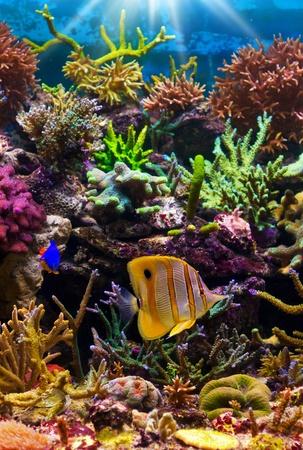 arrecife: peces tropicales en un arrecife de coral Foto de archivo