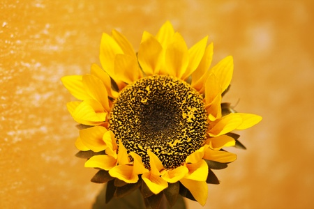beautiful yellow Sunflower photo