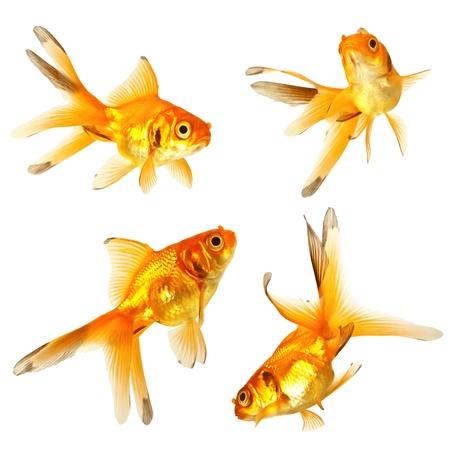 goldfish bowl: Gold fish. Isolation on the white Stock Photo