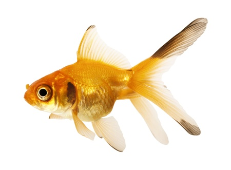 Gold fish  Isolation on the white Stock Photo - 12464480