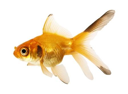 Gold fish  Isolation on the white Stock Photo - 12464480