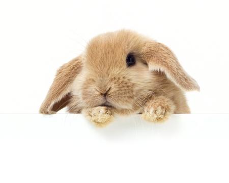 lapin blanc: Lapin mignon. Close-up portrait sur un fond blanc