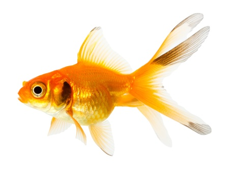 Gold fish. Isolation on the white Stock Photo - 13008939