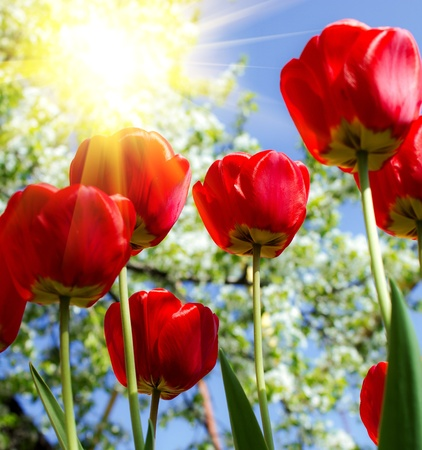 beautiful red tulips close up: Beautiful spring flowers Stock Photo