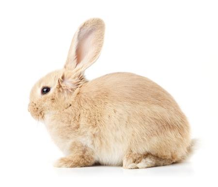 easter bunny: Kaninchen auf einem weißen Hintergrund