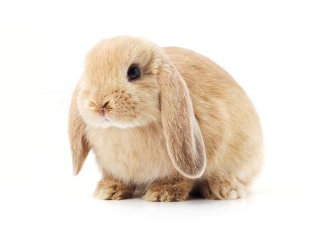 wit konijn: konijn geïsoleerd op een witte achtergrond