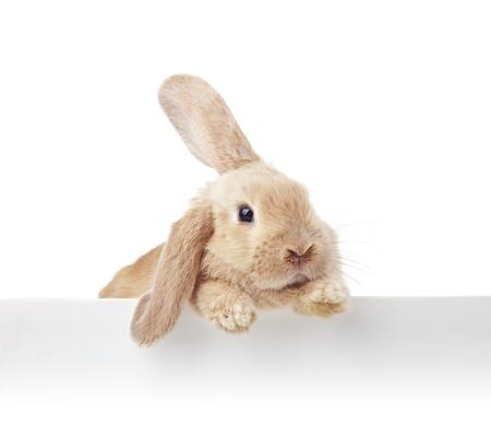 Schattige konijn. Close-up portret op een witte achtergrond