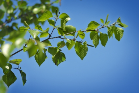 Nature background - leaves of birch on blue sky photo