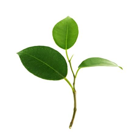 green tea leaf: Green leaf
