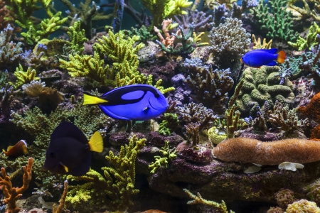 anthia: Tropical Fish on a coral reef Stock Photo
