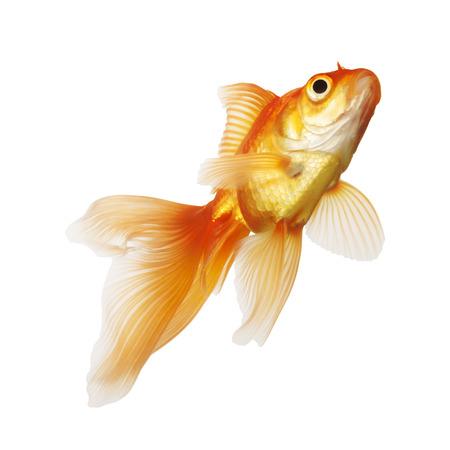 Golden koi fish isolated on white background photo