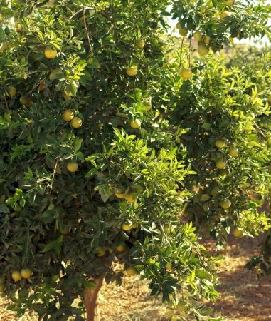 citrus tree: Orange tree with ripe fruits in sunlight