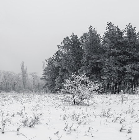 black and white forest: Forest in winter in black and white