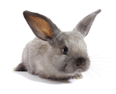jhy: grey rabbit on a white background