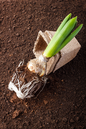 rooted: hyacinth and flowerpot on soil background Stock Photo
