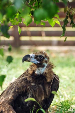 griffon: Estremadura, Griffon vulture