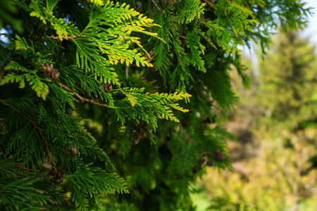 juniper tree: Branches of juniper
