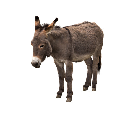 Donkey isolated on white 免版税图像