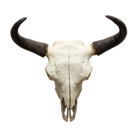 toro: cr�neo de la cabeza del toro aislado en fondo blanco