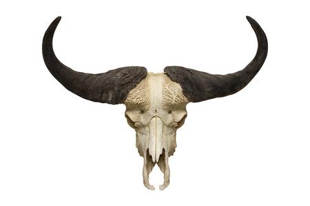 buffalo skull on the white background Standard-Bild