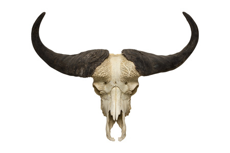 buffalo skull on the white background 免版税图像