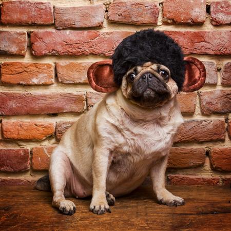 Cute Pug in a monkey suit