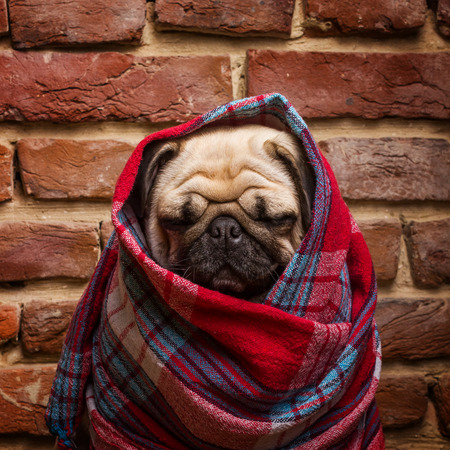 sit on studio: Cute pug wrapped in a blanket Stock Photo