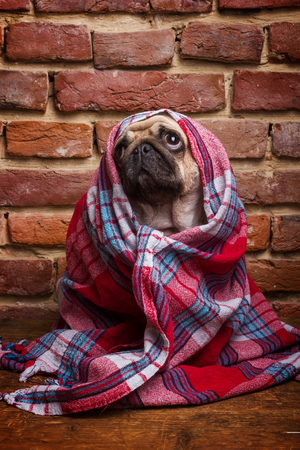 pug: Cute pug wrapped in a blanket Stock Photo