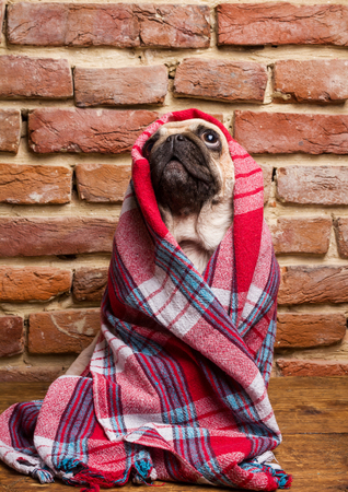 Cute pug wrapped in a blanket Imagens