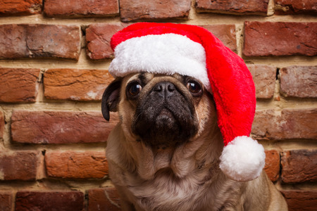 hats: pug in a santa hat Stock Photo