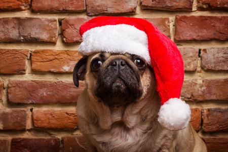 dog in costume: pug in a santa hat Stock Photo