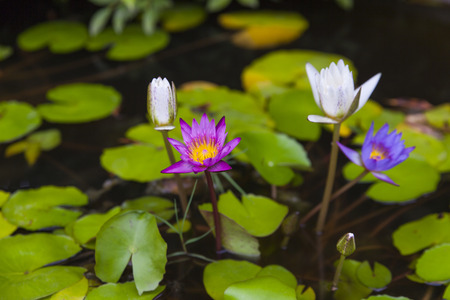 Colorful lotus flowers photo