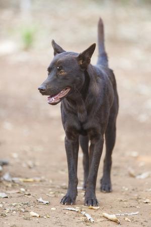 Thai dog photo